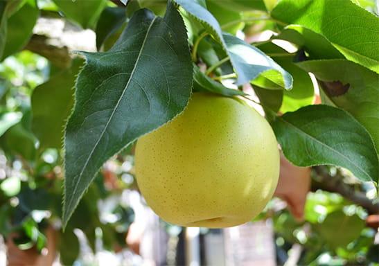 大きく実った梨