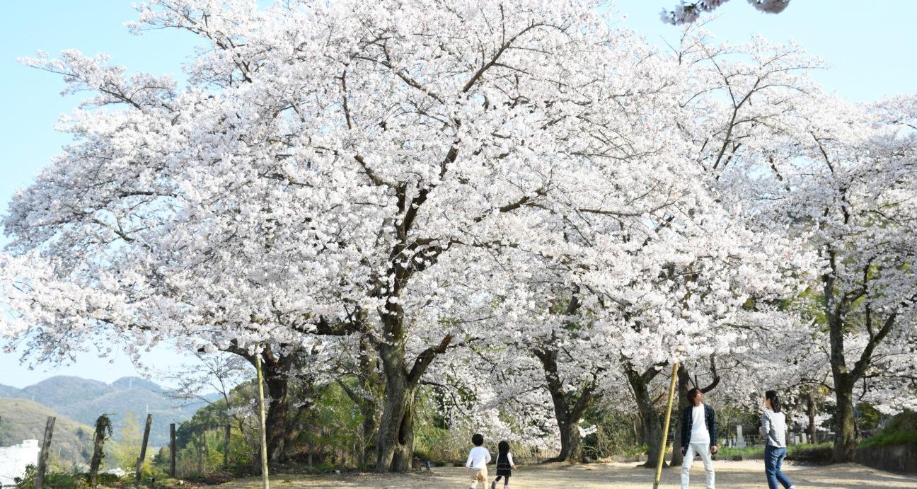常山駐車場の満開の桜