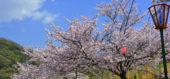 満開に咲き誇るみやま公園の桜