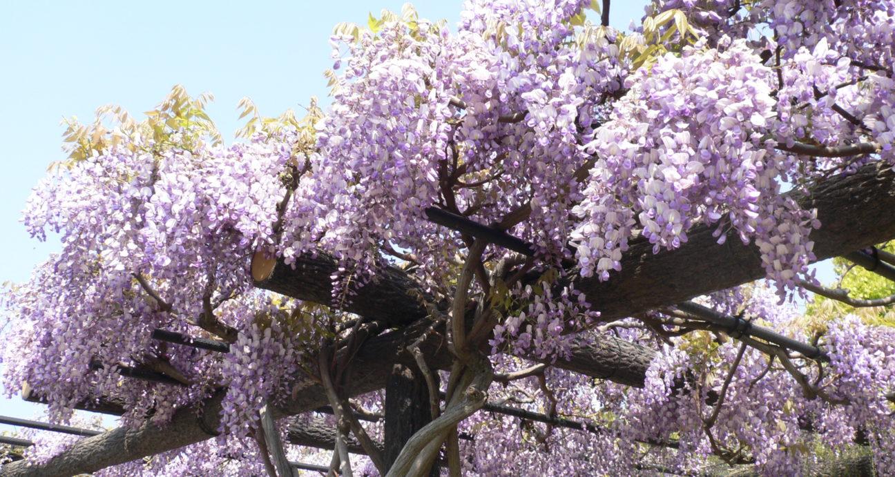 満開に咲く藤の花