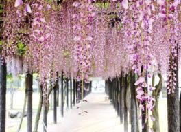美しく垂れ下がった藤の花
