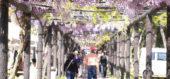 満開に咲く藤棚の下を歩く観光客