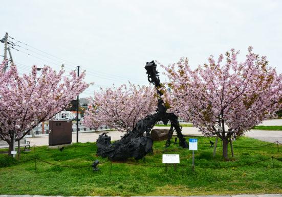 どっしり構えるアート作品いかりと満開の桜
