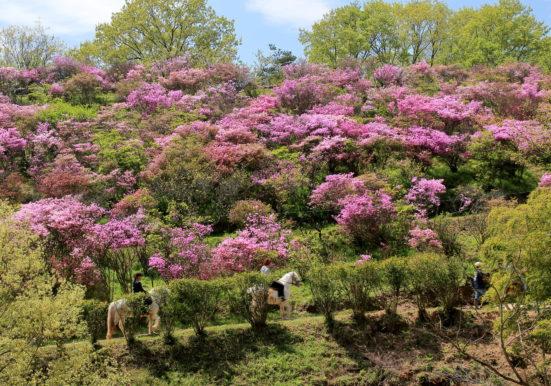 ツツジの花園