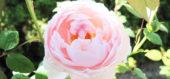 美しく咲くピンク色のお花