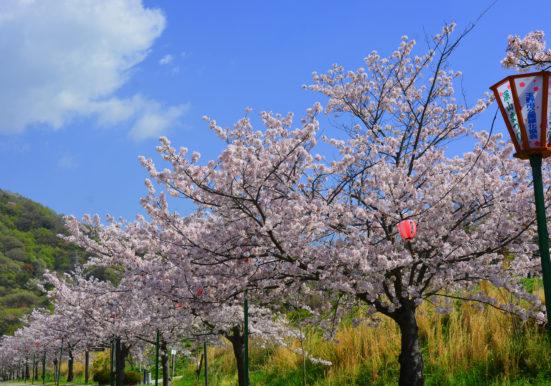 満開に咲くみやま公園の桜