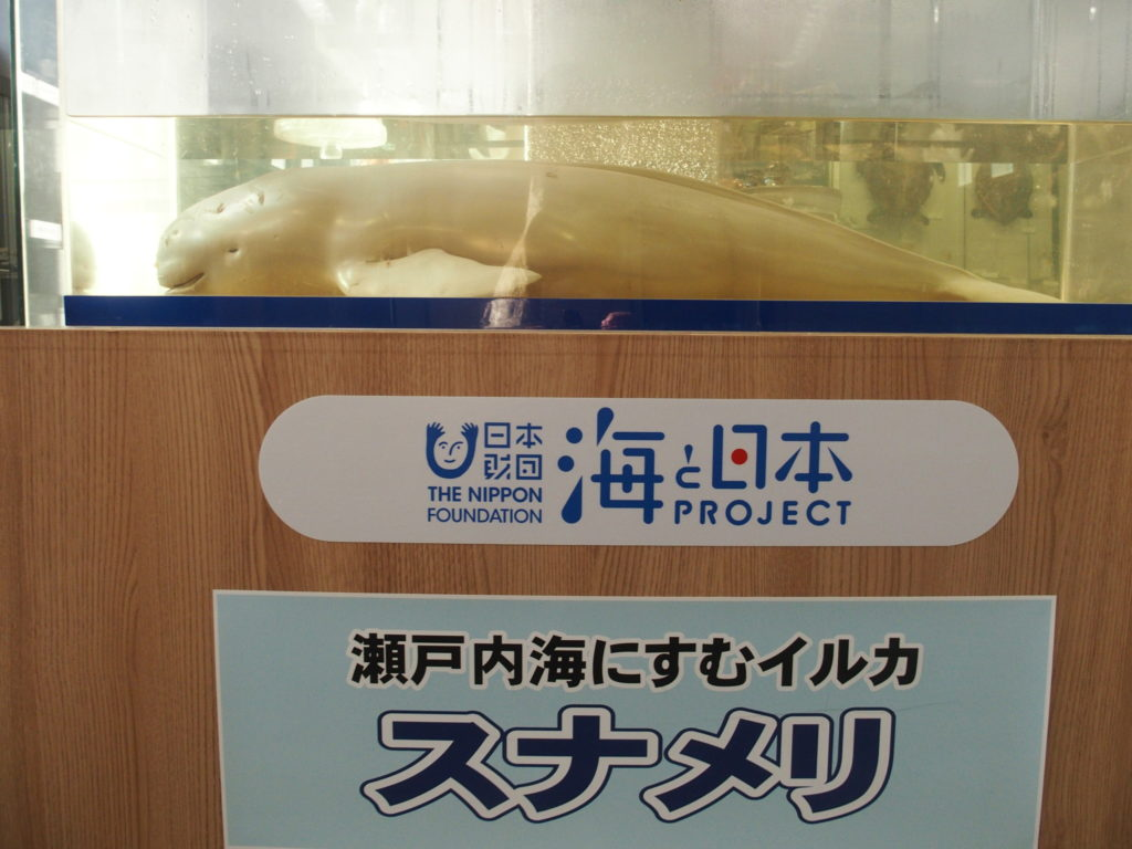 渋川マリン水族館のスナメリの標本