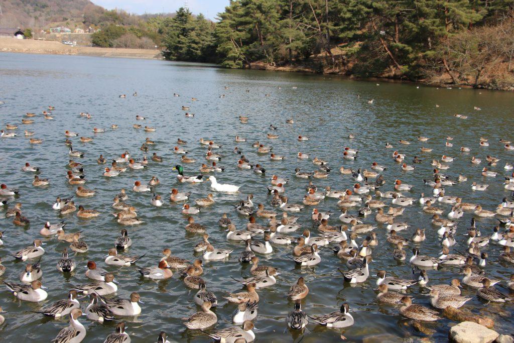赤松池に飛来した渡り鳥