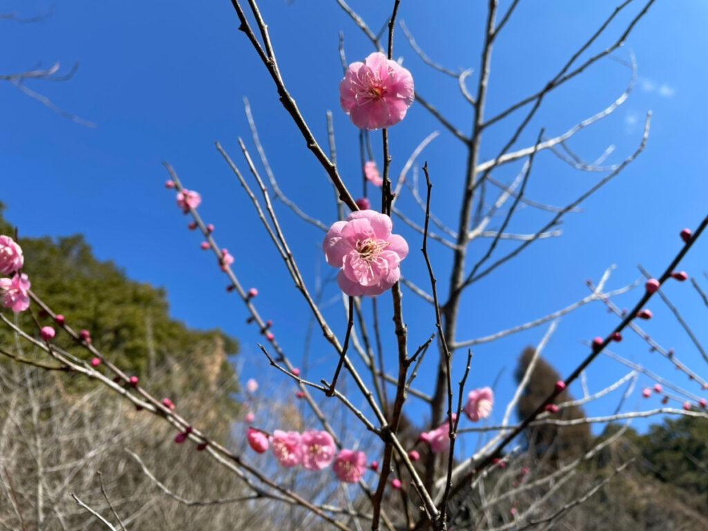 みやま公園の梅の木