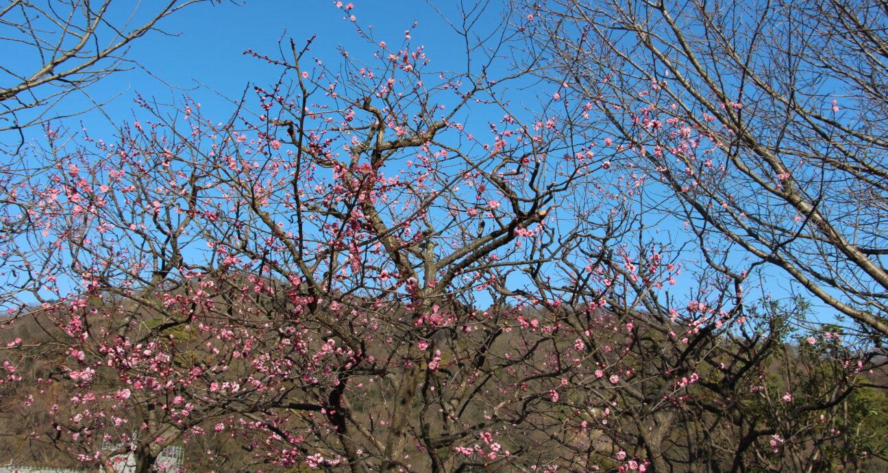 イギリス庭園内の梅の木
