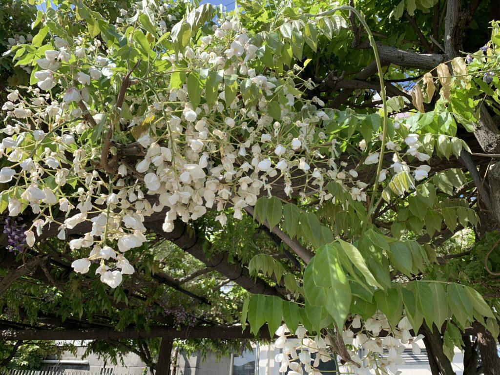 散り始めた藤の花